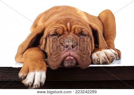 super lazy french mastiff puppy lies down on a table on white background