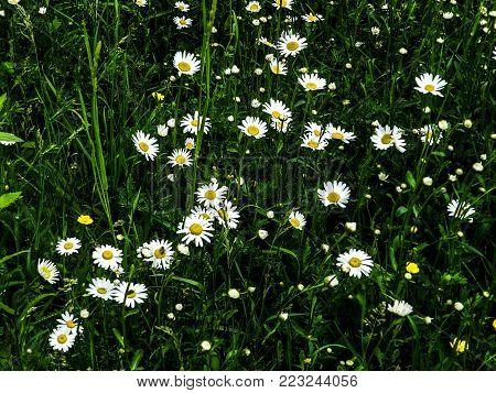A lot of nice little daisies in a botanical garden, Iasi, Romania