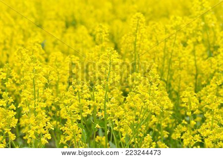 Yellow flowers of Barbarea vulgaris, focus on flower in front