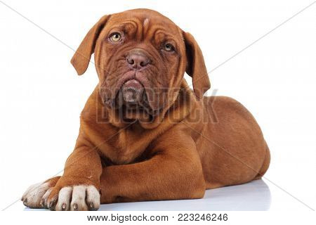 beautiful french mastiff puppy dog lying down on white background with paws crossed