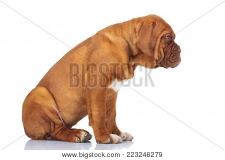 side view of a lazy puppy dog sitting on white background in studio