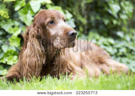 Cute old Irish Setter dog lying in the grass