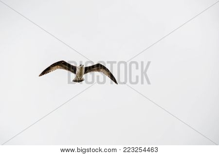 Seagull flying front view. Freedom emotion evoke. Blank white background for typing