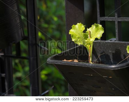 Organic vegetables grown on the edge of the house.Self-made vegetables ensure no toxins.I grow vegetables and eat.
