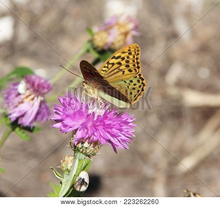 Amberboa, is a genus of herbaceous plants of the Aster family (Asteraceae).Argynnis pandora, the cardinal, is a butterfly of the Nymphalidae family