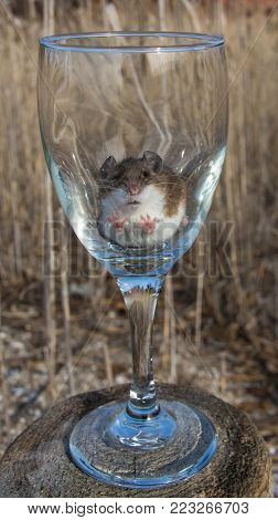 Front view of the face and front two feet of a house mouse in a long stemmed wine glass.  The wine glass is on top of a log in a meadow with long wild brown hay or grass in the background.