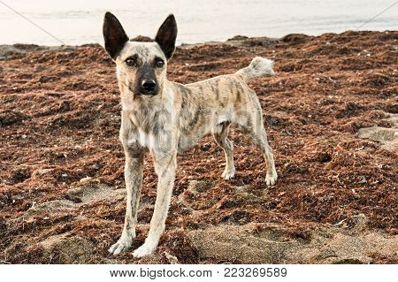 Wild Dog Standing And Looking At Camera On The Beach Which Was Covered With Algae.