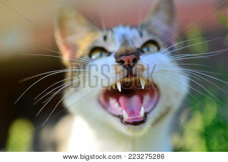 The gray cat looks up, mewing and having widely opened a mouth.