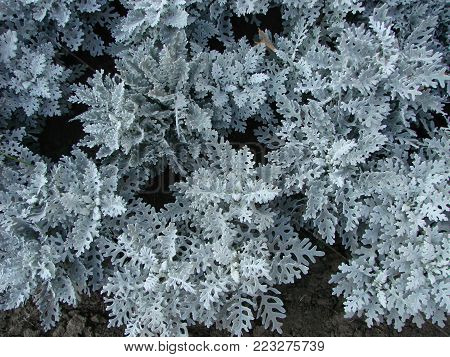 Summer Garden Annuals Background. Dusty Miller Plant Surrounded By Colorful Annuals. Dusty Miller Is