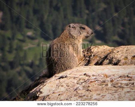 Wild marmot keeping a lookout on a rock in Switzerland
