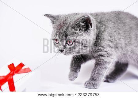 Scottish Straight kitten with gift box on white background