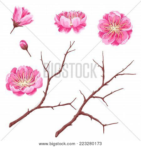Set of sakura buds or cherry blossom and branches. Japanese blooming flowers.