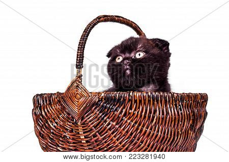 playful Scottish Fold kitten in basket isoliert on white background