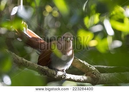 Squirrel Cuckoo Looking into the Forest near Monteverde Costa Rica