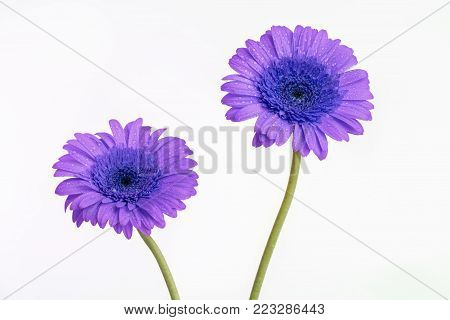 Purple Gerber daisy flowers with long green stems isolated on a white background