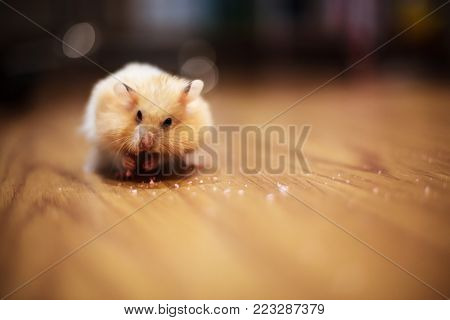 Cute Orange and White Syrian or Golden Hamster (Mesocricetus auratus) keeping food in elongated spacious cheek pouches to its shoulder on with dark blurred background. A food hoarding hamster behavior