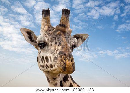 Closeup of the head of a giraffe against summer blue sky background, in the Masai Mara, Kenya.