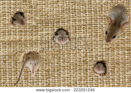 closeup the heads of the field mouses (Apodemus agrarius) peeps from the holes in the linen sack, one mouse climbs into hole.