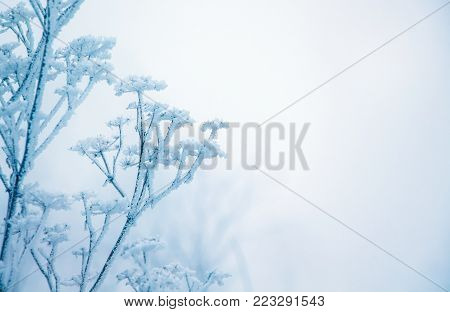 winter, a branch of a dry plant covered with hoarfrost, to the right free place, a symbol of persistence and endurance
