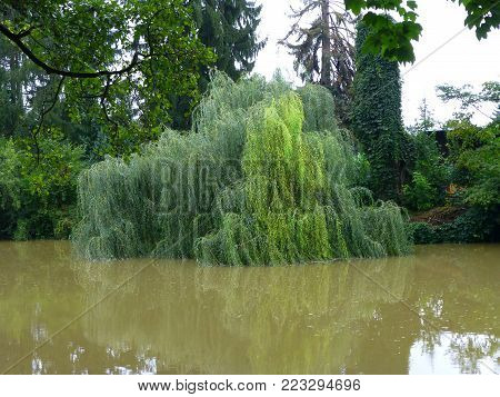 Photo of a willow tree partially submerged in the swollen river