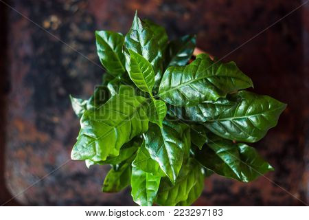 Coffea Arabica - Coffee Plant In A Flower Pot