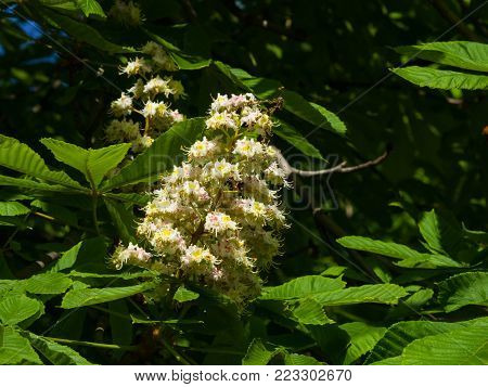 Blooming Horse chestnut, Aesculus hippocastanum, flowers clusters close-up, selective focus, shallow DOF.