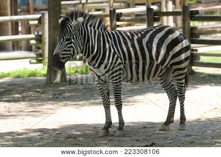 Zebra, a specie of African equid horse family having a distinctive black and white striped coat.