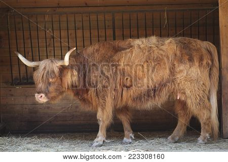 highlander bull ox cattle animal cow highland
