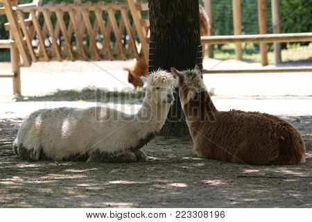 The alpaca (Vicugna pacos) is a domesticated species of South American camelid