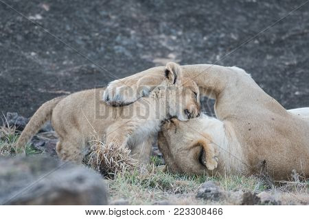 Lioness And Its Cub