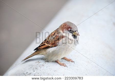 House sparrow (Passer domesticus) sits ruffle up.