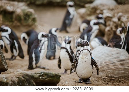 A Black Footed Penguin In A Zoo Staring At The Camera With Other Penguins In The Background