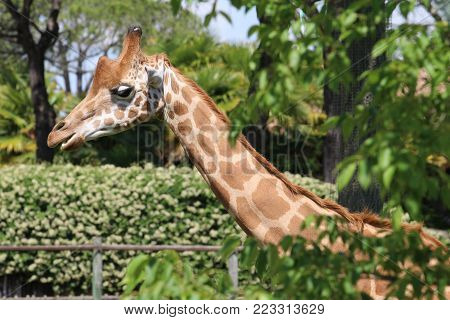 The giraffe is a genus of African even-toed ungulate mammals, the tallest living terrestrial animals and the largest ruminants