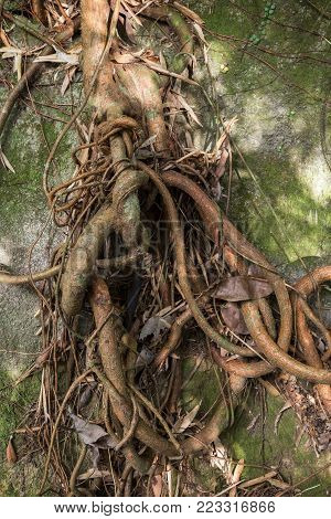 Tree's and climber's thick and thin roots tied up against a rock.