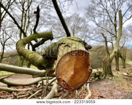 Sawn off branch end on a felled Oak tree