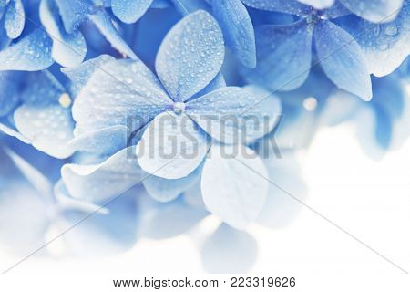 Soft blue Hydrangea (Hydrangea macrophylla) or Hortensia flower with water dew on petals. fading into white background. Shallow depth of field for soft dreamy feel. poster