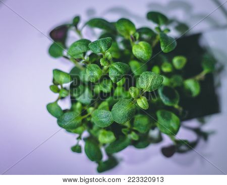 enlarged image of a little green thyme plant sprout growing from ground in the smart farm, concept of ecologic agriculture