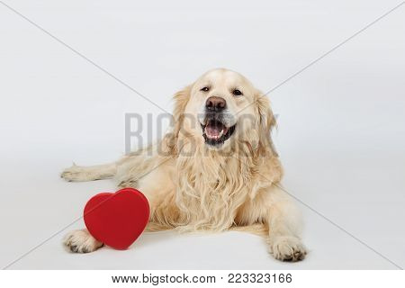 Lovely dog Golden Retriever breed lying down with red heart and looking to camera on white background. Valentine's day, love, romance, marriage concept