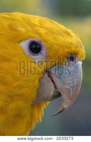 Head Of A Golden Conure