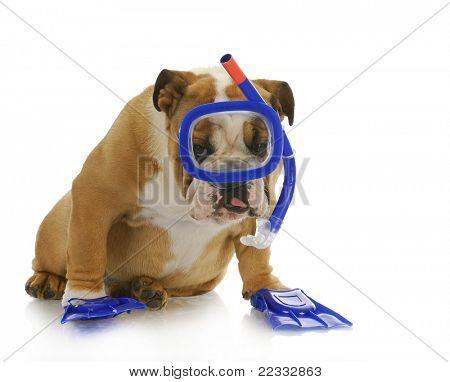 swimming dog - english bulldog wearing snorkeling mask and flippers poster