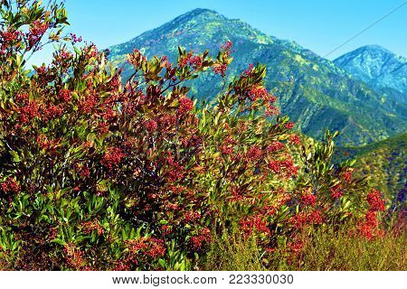 Hollyleaf Cherry Plant which is a chaparral shrub native to Southern California with the rugged San Gabriel Mountains beyond taken in Claremont, CA