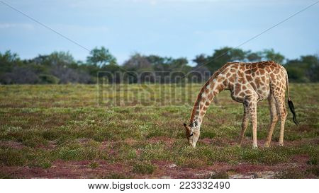 Beautiful Giraffe Eating Grass In The Savannah At The End Of The Rainy Season.