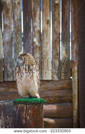 Bubo bubo - Real owl posing on a tree trunk.