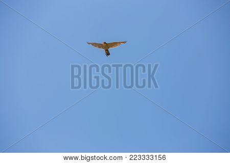 Hawk in flight,Peregrine falcon, Hawk peregrinus in the blue sky.