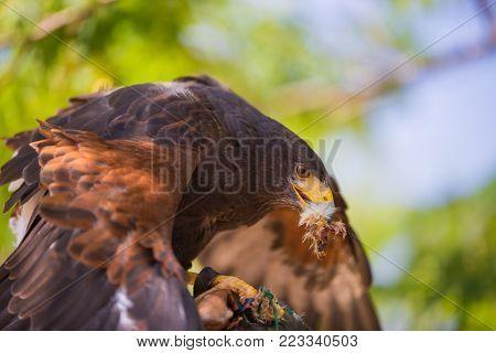 Buzzard - Buteo - Harris's hawk while eating a chick.