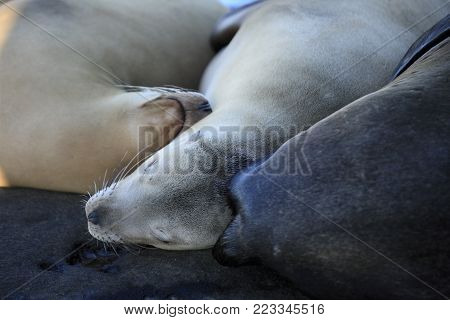 Seals and sea lions sleeping in La Jolla Cove beach
