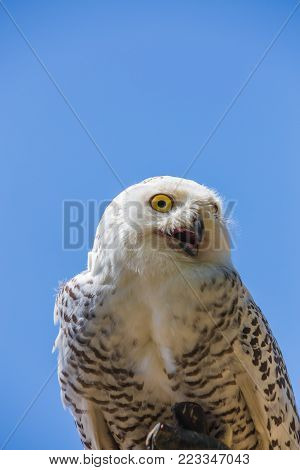Nyctea scandiaca - Bubo scandiacus - Snow white owl.Bird of prey with open beak. poster