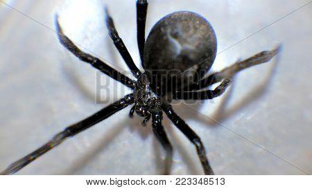 Black Widow Macro Close Up Spiders Creepy