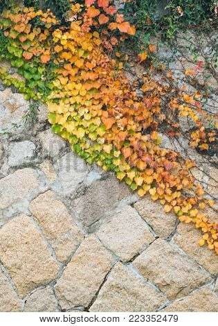 Ivy leaves isolated on wall.