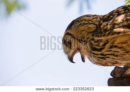 Bubo bubo - Real owl on the falconer's glove.